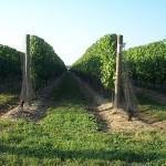 Красивые виноградники на острове Лонг-Айленд, фотография