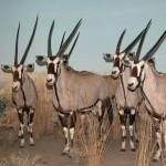 Африканские козы в музее естественной истории